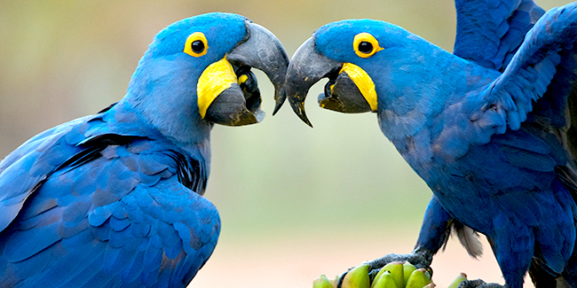 With its mischievous grin, the Hyacinth Macaw appears somewhat comical. But take the powerful beak seriously—it can crack a coconut.