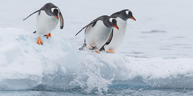 Gentoo penguins diving into the water, Antarctica