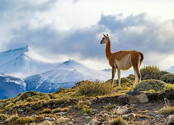 A Guanaco looking at the mountaints at Torres del Paine in Patagonia